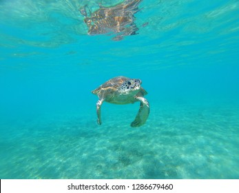 Endangered young green turtle (Chelonia mydas) from Mayotte