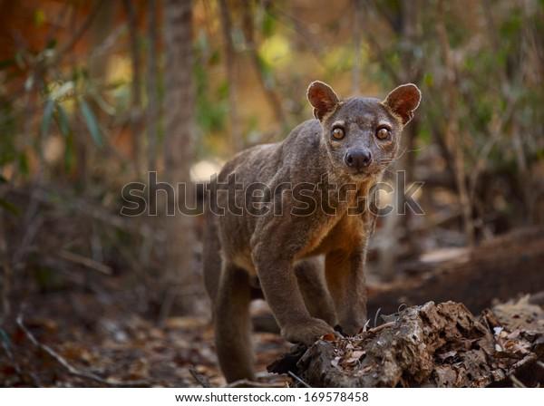Endemic Fossa (Cryptoprocta ferox) in a dry tropical forest. Madagascar