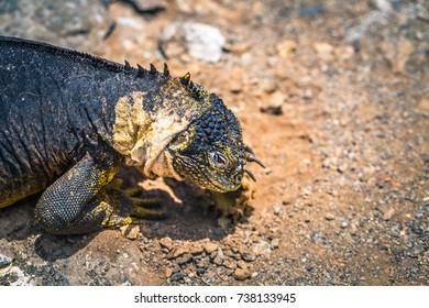 Endemic Land Iguana in Plaza Sur island, Galapagos Islands, Ecuador