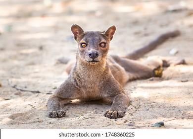 Endémique fosse de Madagascar sur le terrain