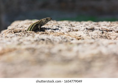 Endemic male lizard (Iberolacerta cyreni) peers out of a granite rock crack