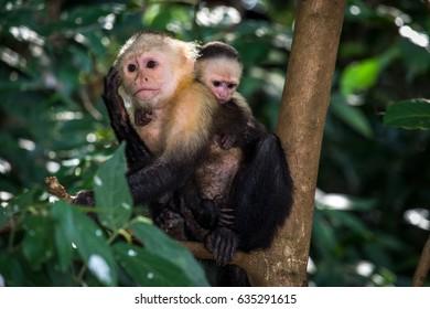 Endemic monkeys of Coiba National Park. Panama, Central America.