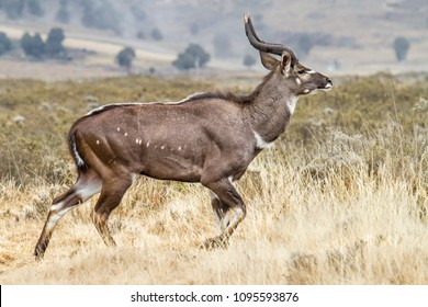 The endemic mountain nyala in the Bale Mountains in Ethiopia