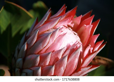 endemic plant of southafrica highly protechted protea gigantea