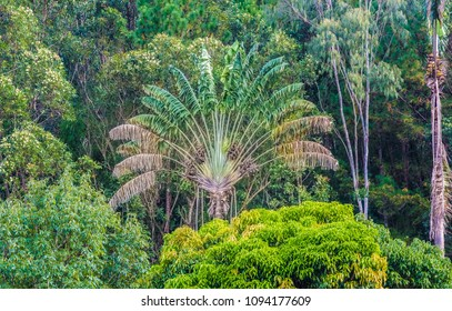 The endemic ravinala tree (traveller's tree) stands out in a primeval forest of Andasibe/Mantadia National Park. This tree is the national symbol of Madagascar