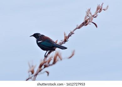 Endemic tui bird sitting on a flax flower stem, Tiritiri Matangi Island, New Zealand. Clear blue sky background.