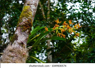 Endemic wild orchid (Grammangis ellisiiof) flowering on a tree trunk in its natural habitat. Rain forest of the Eastern Madagascar.