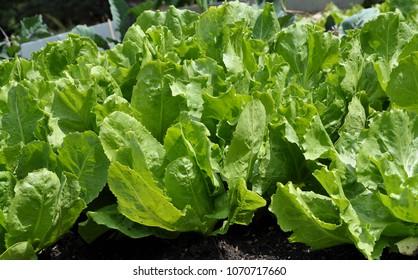Endive in vegetable garden