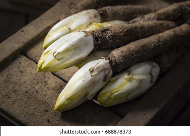 endives freshly harvested with root