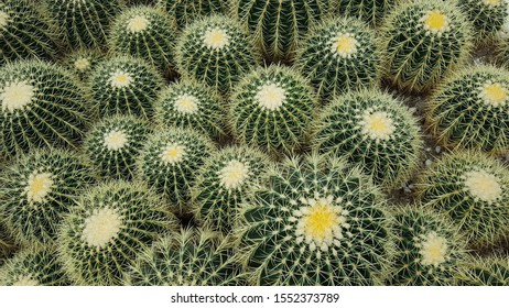 Endless aerial view of green barrel cacti with prickly yellow needles
