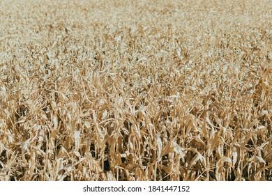 Endless corn field in rural Oregon