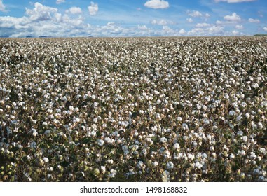 Endless field with ripened cotton