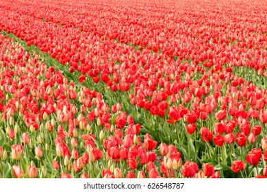 Endless field with rows of red tulips