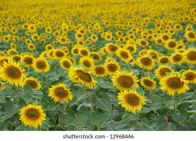 Endless fields of sunflowers