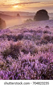 Endless hills with blooming heather at sunrise. Photographed at the Posbank in The Netherlands.