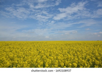 Endless rape field with clouds