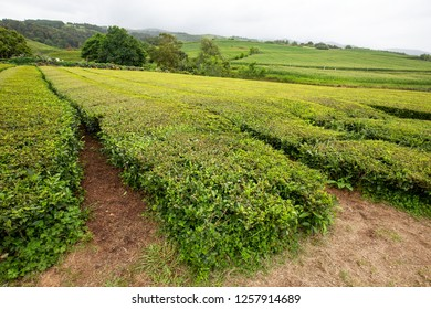 Endless rows of tea at the Gorreana tea plantation near Sao Bras, Portugal.