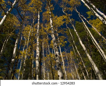 An endless wall of aspens along the St. Vrain Mountain trail in Colorado's Indian Peaks Wilderness.