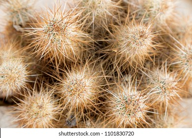 Ends of a grouping of stems of a teddy bear cholla cactus (Cactaceae Cylindropuntia bigelovii).