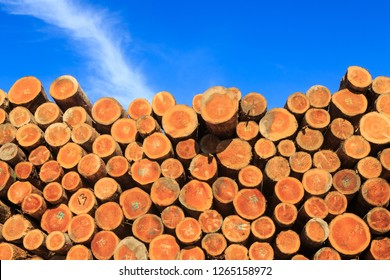 The Ends of a Stack of Cut Pine Logs (New Zealand Pinus Radiata), Ready For Export. The Blue Sky in the Background Contrasts Nicely With the Color of the Logs