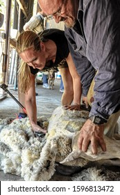 Eneabba, Western Australia - January 10, 2015, 12noon: Learning to shear a sheep. Woman shearing a sheep with guidance from an expert male shearer.