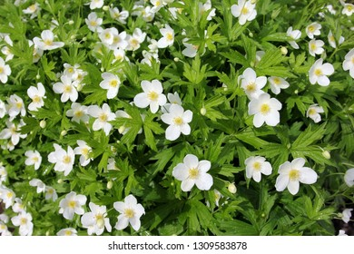 Enemion biternatum commonly known as the false rue-anemone, is a spring ephemeral plant