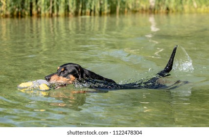 Energetic healthy senior purebred black and tan German Pinscher swimming in Lake Constance joyfully retirieving his toy. Low angle shot from within the lake.