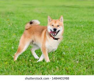 Der ergetische Welpe Shiba Inu geht und spielt. Wie schützt man seinen Hund vor Überhitzung? Der Hund hat Durst.