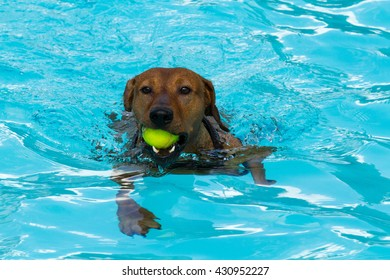 Energetic purebred red German Pinscher swimming, retrieving a doggy ball from a swimming pool on a sunny day.