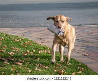 An energetic young dog, yellow Labrador (Lab) Retriever fetches the morning newspaper.