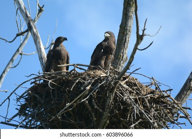 Similar Images, Stock Photos & Vectors of Two fake eagles