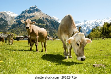 Engelberg, Switzerland - 4 May 2002: Brown cows in the alpine meadow in Engelberg