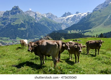 Engelberg, Switzerland - 8 august 2016: Brown cows in the alpine meadow at Engelberg on the Swiss alps
