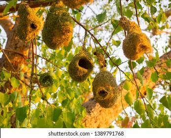 The engineer bird. King of nest contruction. Bird's nest of Baya weaver,Bird's nest of Ploceus philippinus on the tree.