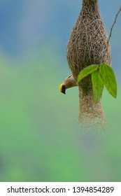 The engineer bird. King of nest contruction. Baya Weaver (Ploceus philippinus) hanging on it's partially new completed nest