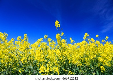 England, North Yorkshire, Rievaulx. Near River Rye. Fields of bright yellow Brassica Napus. Brassicaceae. Common name: Canola or Rapeseed.  Used for oil and as a vegetable.
