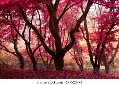 ENGLAND, NOVEMBER 2015: Trees bearing bright red leaves at Winkworth Arboretum