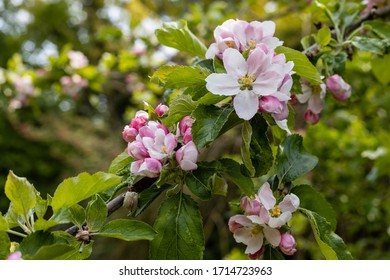 English apple blossom in April
