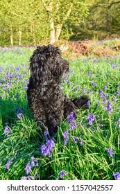 English Bluebell woodlands,Cockapoo Dog,UK