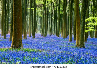 english bluebells in a beech woodland in sussex.uk