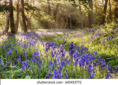 English bluebells hidden deep in a mature woodland forest with early morning sunlight peeping though the trees. Located in Norfolk UK