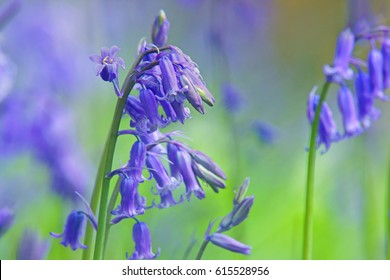 English bluebells, Hyacinthoides non-scripta, selective focus and diffused background in spring, backlit by early morning sunlight, The Cotswolds, Gloucestershire