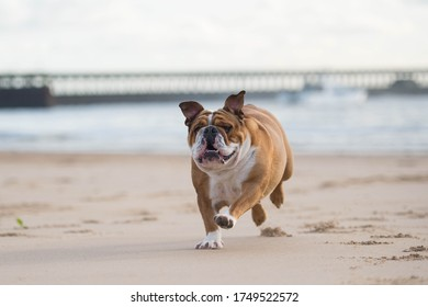 English British Bulldog at the beach