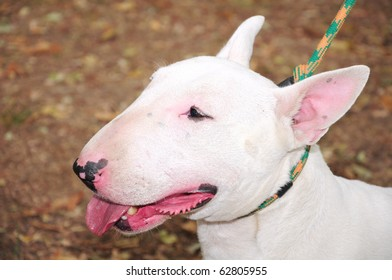 English Bull Terrier Images, Stock Photos & Vectors