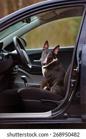 english bull terrier dog waiting in a car