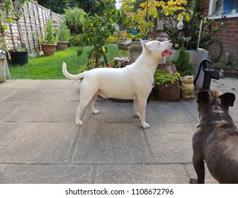 English Bull Terrier and French Bulldog are Friends in the Garden