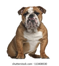 English Bulldog, 10 months old, sitting against white background