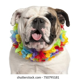 English bulldog, 7 months old, wearing Hawaiian lei in front of white background