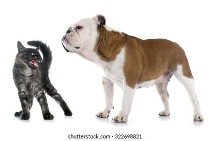 english bulldog and angry cat in front of white background