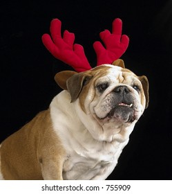 English Bulldog with antlers